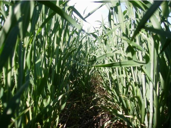 950Ha De Campo Agricola. Girasol Maiz.trigo