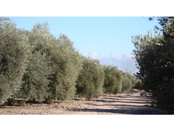 Olivícola En Venta En Mendoza. 300Ha