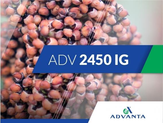 Sorgo ADV 2450 IG