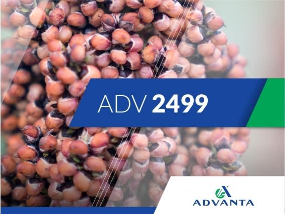 Sorgo ADV 2499