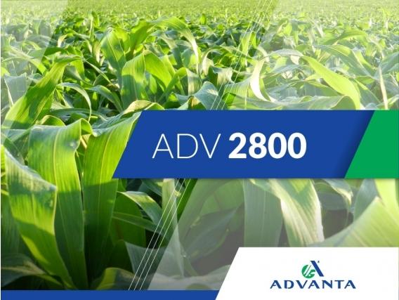 Sorgo ADV 2800
