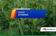 Alfalfa Eterna