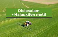 Herbicida Diclosulam+Halauxifen metil