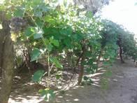 Campo De 33 Has En Alto Verde, Mendoza.