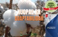 Semillas De Algodón NuOpal RR - Tratamiento Base