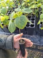 Plantines De Árboles, Forestación